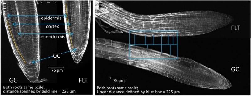 (E) A zona meristemática em raízes de controle de solo (GC) e (FLT) plantas de voos. Centro epiderme, córtex, endoderme e de repouso (QC) são indicados em setas azuis. A linha de ouro ao longo da coluna de células da epiderme do centro de repouso mede 225?m. (F) A zona de alongamento em raízes de controle de solo e plantas de voos. O quadro azul define uma região de cerca de 225?m ao longo do comprimento de cada raiz a partir da zona de transição para a zona de alongamento. As barras transversais no retângulo definir fronteiras de células nesta área para cada raiz